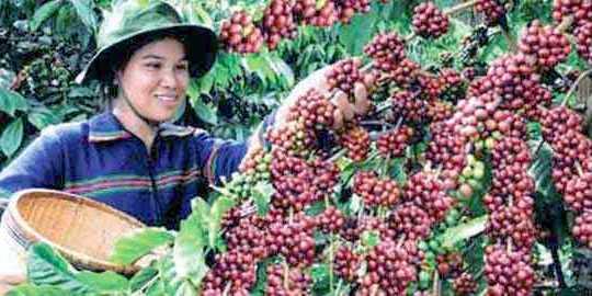 Thông tin về cây cà phê
