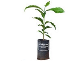 Cây giống cà phê TR9 414