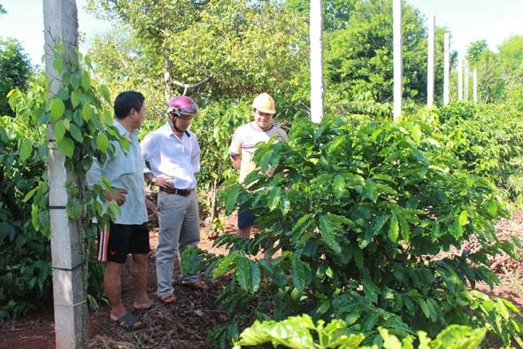 Mô hình trồng tiêu xen cà phê