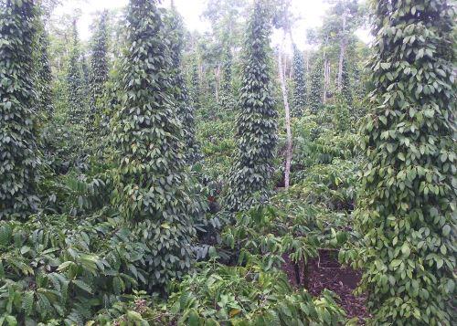 Tiêu xen cà phê (phương pháp 2)