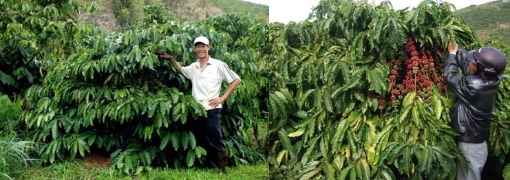 Các giống cà phê cao sản Lâm Đồng