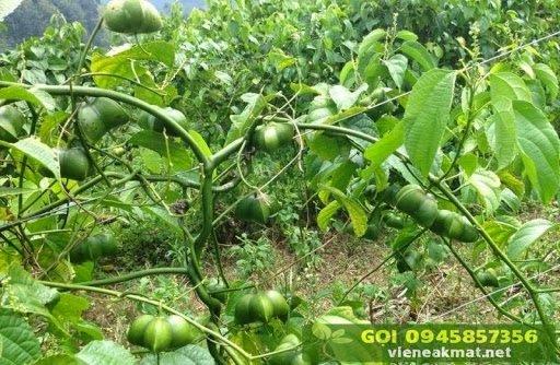 Hình ảnh cây sachi (sacha inchi)