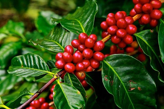 Kỹ thuật trồng và chăm sóc cây cà phê