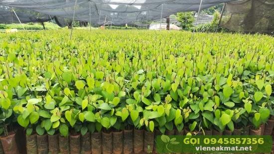 Hình ảnh vườn ươm giống tiêu Vĩnh Linh