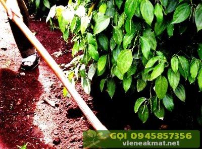 Xới đất và lấp phân khi bón phân vô cơ cho tiêu