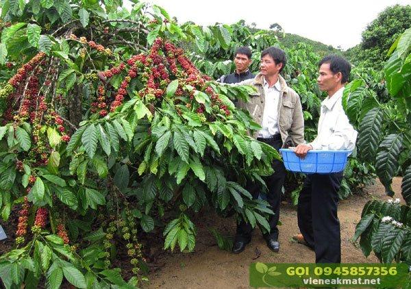 Thông tin về các giống cà phê cao sản Đăk Lăk - Đăk Nông
