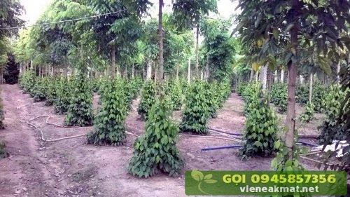 Hình ảnh trụ tiêu sống (trồng trên cây núc nác rừng)