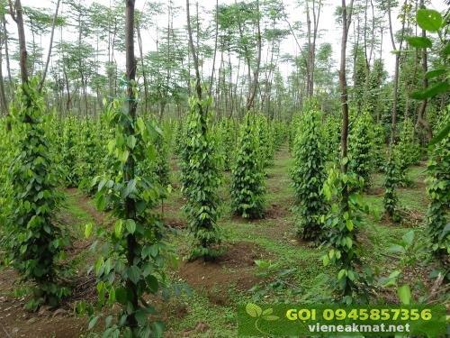Nên trồng cây gì làm trụ tiêu sống?
