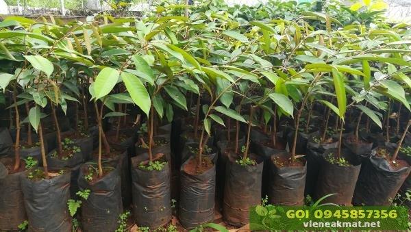 Bán cây giống sầu riêng