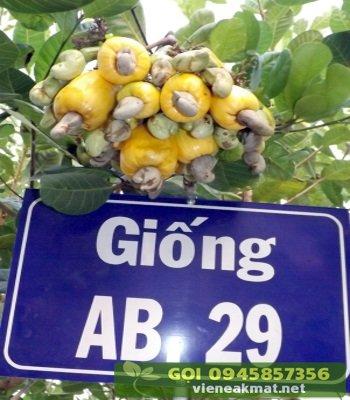 Giống điều cao sản AB29 trái vàng