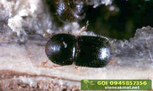 Mọt đục cành hại cà phê (Xyleborus morstatti) - Con trưởng thành