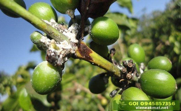 Tìm hiểu về bệnh rệp sáp hại cà phê