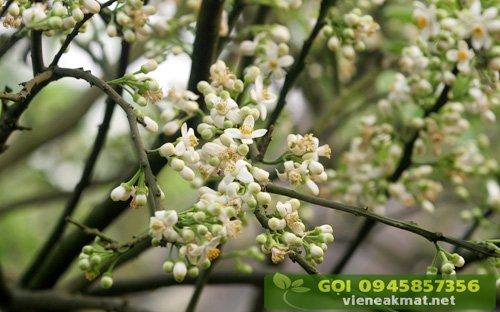 Xử lý ra hoa trên cây có múi (cam chanh quýt bưởi)