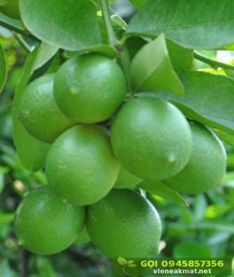 Giống chanh không hạt (trái chùm)