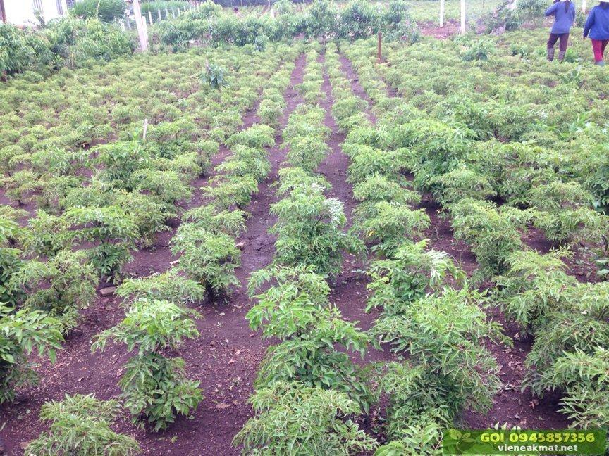 Kỹ thuật trồng và chăm sóc cây đinh lăng