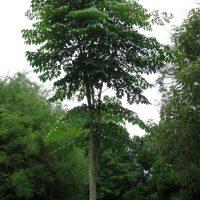 Cây núc nác rừng làm trụ tiêu, làm cây dược liệu